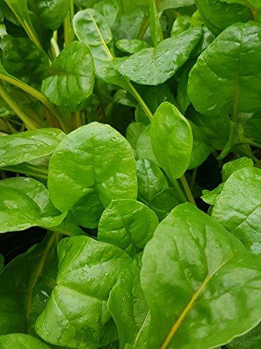 Fresh 2000 seeds - Swiss Chard Green Herb ()