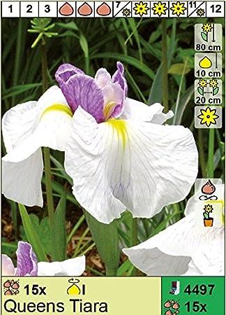 Iris ensata - Japanische Sumpf-Schwertlilie \