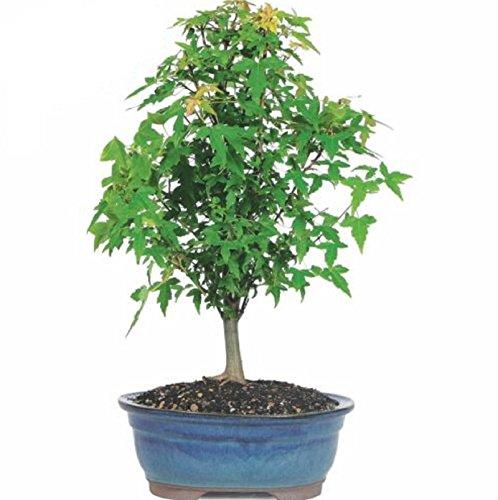 Hot Sale! Trident Maple Bonsai Tree by Polar Bear's Garden
