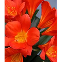 Clivia Triangle Red - Clivia red - 1 seeds