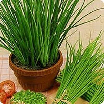 Herb Seeds Garlic Chives Organic Russian Heirloom Seed