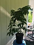 Mauritius Lychee Tree, Air Layered, Live Plant 3 Gallon Pots, No Ship to CA, TX, AZ