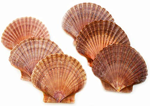 Lot of 6 Beautiful Mexican Flat Scallops Shells Seashells (About 3