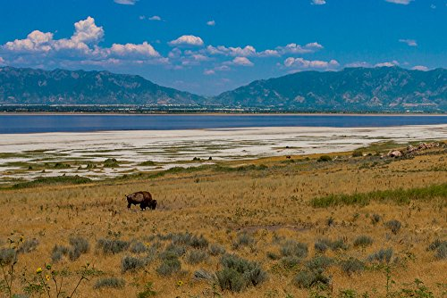 Buffalo Grazing Antelope Island Utah-8x10-Signed By Artist-Certificate of Authenticity - Island Signed