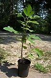 Celeste Fig Tree Healthy Garden Plants Live Plant Sweet Figs Trees Eat Fresh Fig