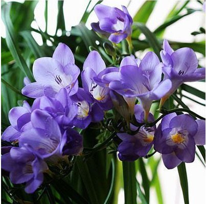 Amazon.com : Purple yellow Freesia Bulbs Indoor Potted Flowers ...