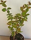 "Abelia ""Rose Creek"" ~ Live Starter Plant"