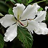 Dwarf White Orchid Tree 15 Seeds Produces Showy White Fragrant Flowers