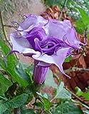 Exotic Plants Datura purple queen double - - 15 semi