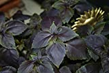 Basil Dark Opal Purple (100=>3200 seeds) heirloom bulk culinary wholesale #285 (5)