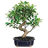 Brussel's Golden Gate Ficus Bonsai - Medium - (Indoor)