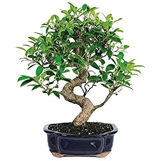 "Brussel's Live Golden Gate Ficus Indoor Bonsai Tree - 7 Years Old; 8"" to 10"" Tall with Decorative Container"