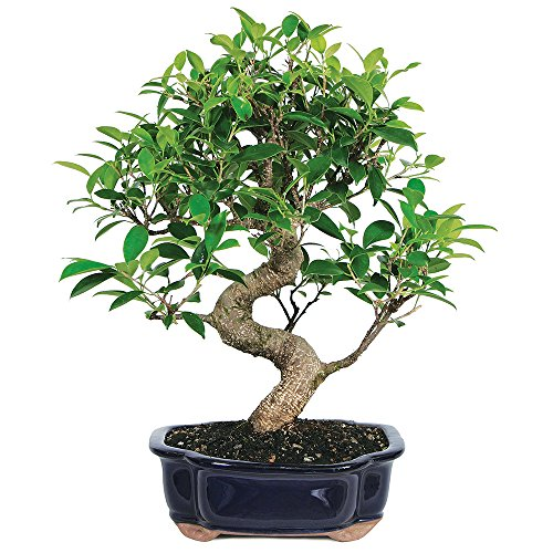 Brussel's Live Golden Gate Ficus Indoor Bonsai Tree - 7 Years Old; 8