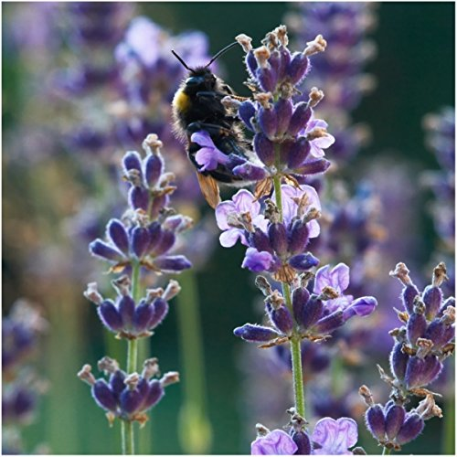 Earthcare Seeds English Lavender 500 Seeds (Lavandula angustifolia)