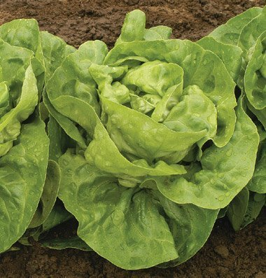 David's Garden Seeds Lettuce Adriana D2358A (Green) 500 Open Pollinated Seeds
