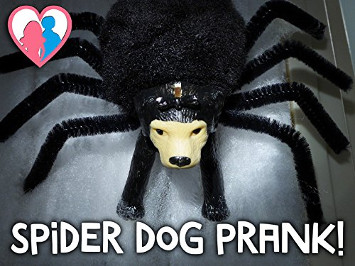 Halloween Spider Dog Prank! -
