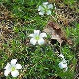 Potseed - Minuartia Imbricata Seeds