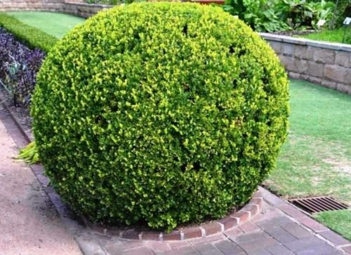 Japanese Boxwood Buxus micropylla Hardy Healthy Evergreen 12 Plants in 2.5'' Pots