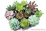 Succulent Plants (5 Pack), Fully Rooted in