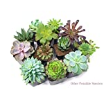 Succulent Plants (5 Pack), Fully Rooted in Planter Pots with Soil - Real Live Potted Succulents / Unique Indoor Cactus Decor by Plants for Pets 18 HAND SELECTED: Every pack of succulents we send is hand-picked. You will receive a unique collection of species that are FULLY ROOTED IN 2 INCH POTS, which will be similar to the product photos (see photo 2 for scale). Note that we rotate our nursery stock often, so the exact species we send changes every week. THE EASIEST HOUSE PLANTS: More appealing than artificial plastic or fake faux plants, and care is a cinch. If you think you can't keep houseplants alive, you're wrong; our succulents don't require fertilizer and can be planted in a decorative pot of your choice within seconds. DIY HOME DECOR: The possibilities are only limited by your imagination; display them in a plant holder, a wall mount, a geometric glass vase, or even in a live wreath. Because of their amazingly low care requirements, they can even make the perfect desk centerpiece for your office.