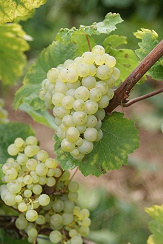 Home Comforts Canvas Print Riesling Grapes Grape Winegrowing Wine Vine Stretched Canvas 32 x ()