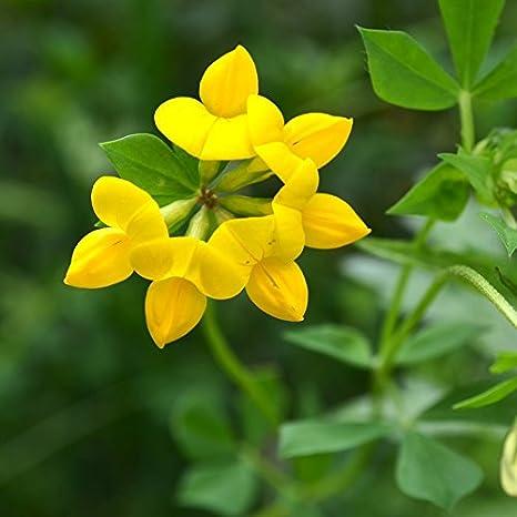 Amazon birdsfoot trefoil seeds 1 pound yellow flowers birdsfoot trefoil seeds 1 pound yellow flowers mightylinksfo