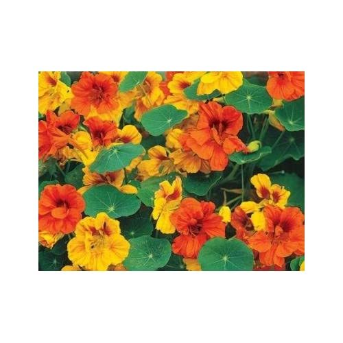 "30 Nasturtium ""Tom Thumb Mixed"" Seeds - Package By My Secret Gardens"