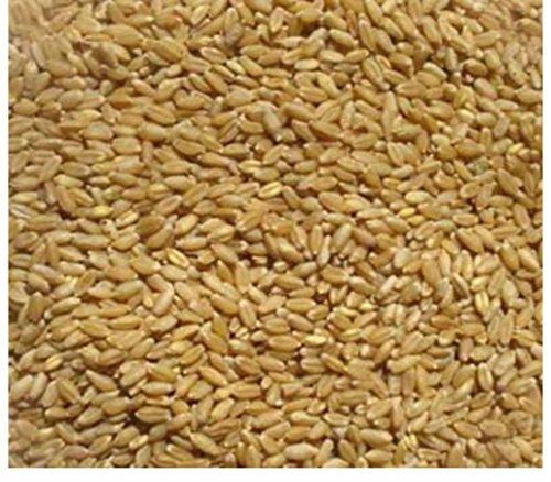 4 pounds Winter Wheat Seed Deer Food Plot/ Garden Cover Crop