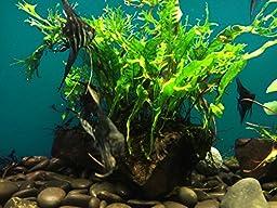 Microsorum Windelov Java Fern Lace Live Aquatic plant on Driftwood for aquarium freshwater fish tank by greenpro