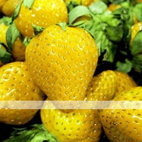 Wholesale (Sweet Yellow *Ambizu*) 200 Seeds / Pack, Sweet Yellow Alpine Strawberry Seed Non-gmo Organic Fruit supplier