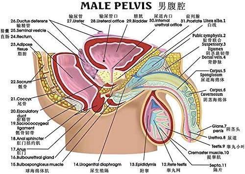 Menselijk Anatomisch Mannelijk Genitale Bekkenholte Urinewegen Model Mannelijk Genitale Urinewegen Model Menselijk Orgel Model Anatomie Model