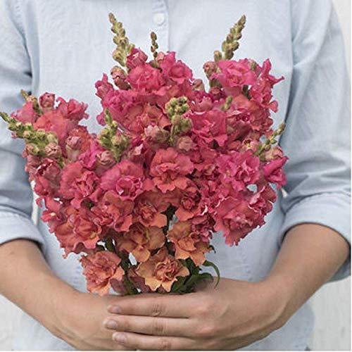 (David's Garden Seeds Flower Snapdragon Madame Butterfly Bronze SL0285 (Pink) 50 Non-GMO, Hybrid Seeds)