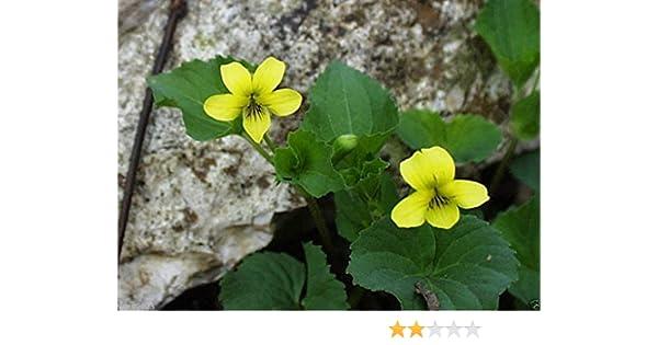 Amazon smooth yellow violet 50 seeds viola pubescens amazon smooth yellow violet 50 seeds viola pubescens eriocarpa woodland shaded area garden outdoor mightylinksfo