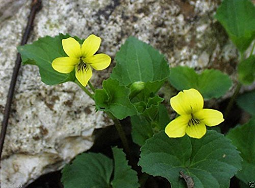 - Smooth Yellow Violet, 50 Seeds (Viola Pubescens, Eriocarpa), Woodland Shaded Area