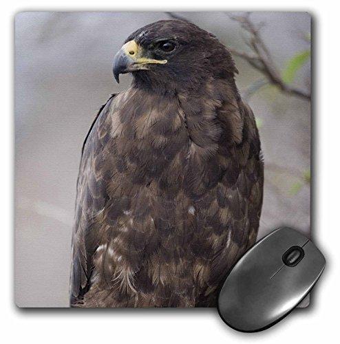 (3dRose LLC 8 x 8 x 0.25 Inches Mouse Pad, Galapagos Islands Np Isabella Galapagos Hawk Paul Souders (mp_86439_1) )