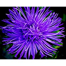 Blue Needle Aster Seeds Impression Annual Cutting Flowers