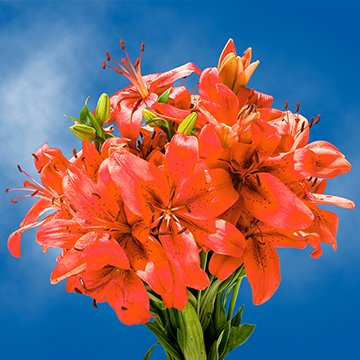 GlobalRose 28 Blooms of Orange Color Asiatic Lilies 8 Stems - Fresh Flowers for Delivery by GlobalRose