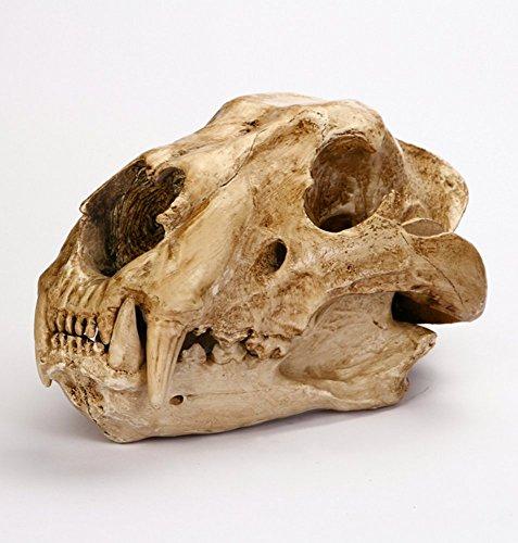 - Gmasking Resin Panthera Leo Spelaea Lion Skull Model Replica