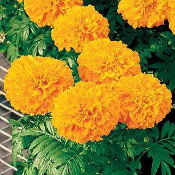 (Park Seed Inca II Orange Hybrid Marigold Seeds)