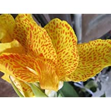 5 YELLOW CANNA LILY Indian Shot Canna Indica Flower Seeds *Comb S/H by Seedville