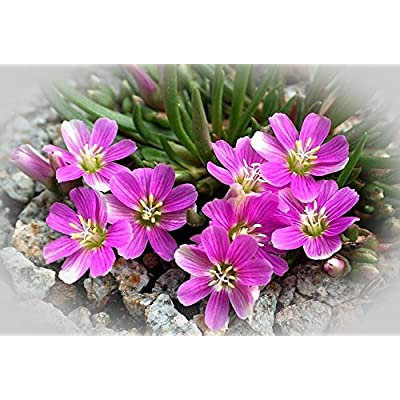 10 Lewisia pygmaea, Alpine Lewisia, Alpine Bitter-root, Dwarf, GREAT In Containers : Garden & Outdoor