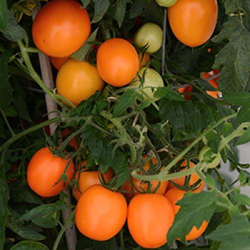 Orange Tomatoes - Sunrise Sauce Tomato - 10 Seeds - Orange Roma/Paste Tomato