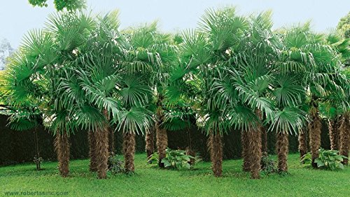 (3 gallon) Windmill Palm Trees- An extremely hardy palm tree with an attractive, compact crown with large, stiff, fan-like, green foliage and distinctive hairy black fibers covering its slender, grace by Pixies Gardens (Image #1)