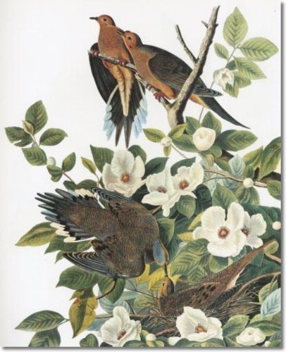 Audubon -- VII - Showy Birds Nocturnal Hunters and Superb Aerialists -- Mourning Dove -aka- Carolina Turtle Dove or Carolina Pigeon - Gallery Wrapped Canvas Print