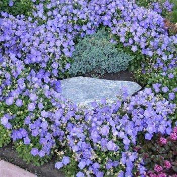 Outsidepride Bellflower Campanula Carpatica Blue Plant Seed - 5000 Seeds ()