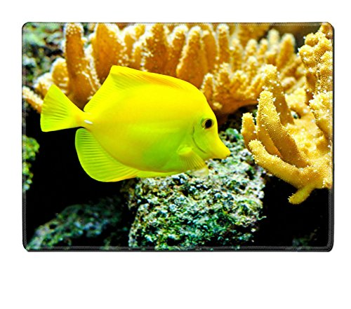 Liili Natural Rubber Placemat IMAGE ID: 8201892 One yellow tang fish in tropical aquarium - Yellow Tang Animals