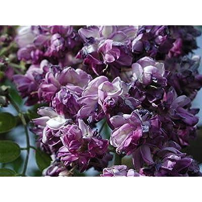 Black Dragon Wisteria - Double Flowering Fragrant Vine 2 - Year Live Plant : Flowering Plants : Garden & Outdoor