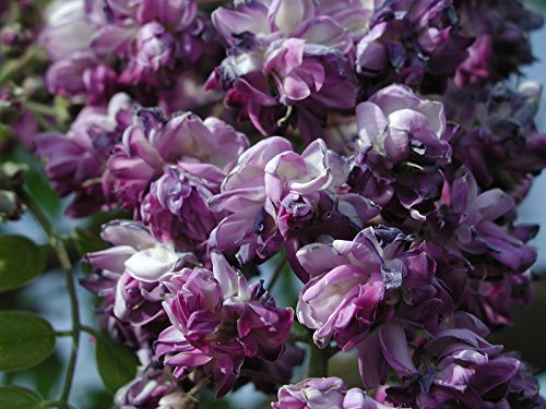 BLACK DRAGON WISTERIA - DOUBLE FLOWERING FRAGRANT VINE 2 - YEAR LIVE PLANT by Japanese Maples and Evergreens (Image #3)