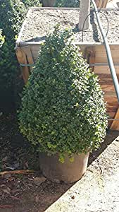 "English Boxwood aka Buxus sempervirens SPIRAL Live Plants Fit 5 Gallon Pot - 24"" planted"