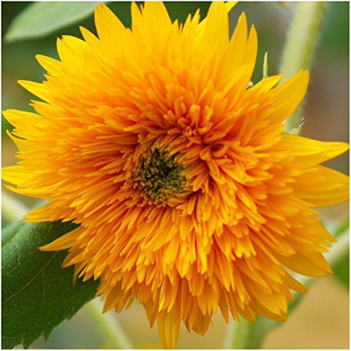 Seed Needs, Tall Teddy Sunflower (Helianthus annuus) Twin Pack of 100 Seeds Each Open Pollinated